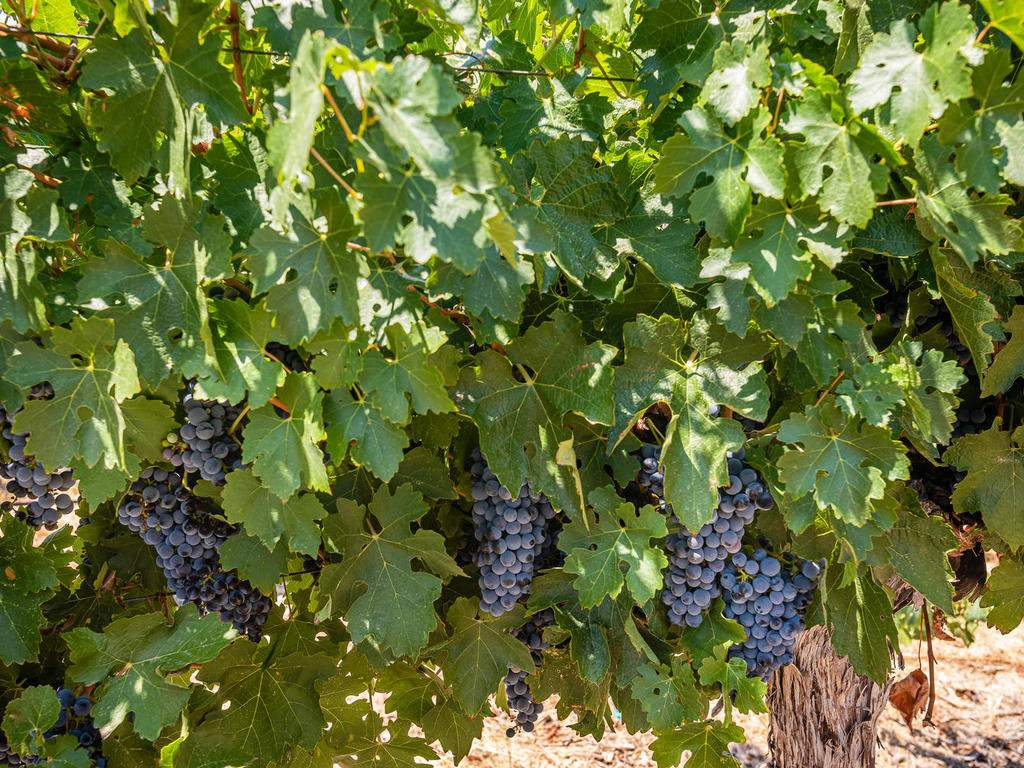 1785-Wellsona-Rd-Paso-Robles-061-059-Grapes-on-the-Vine-MLS_Size